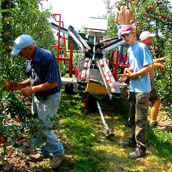 Prognosfruit: prevista in aumento la produzione italiana di mele (+11%)
