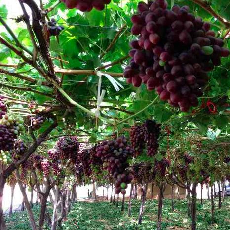 Uva non raccolta in Puglia. L'appello di Coldiretti a Nardoni