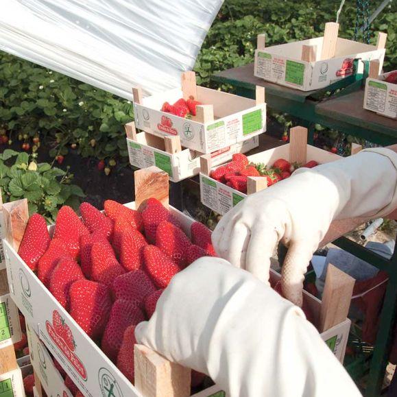 Fréson de Palos punta a vendere 9 mila tons di fragole in Italia