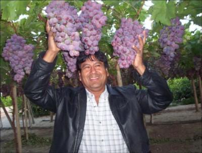 Peru 39 investimenti nella coltivazione dei mirtilli e nell - Red globe uva da tavola ...