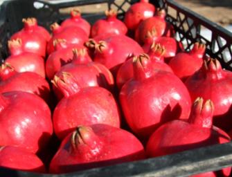 Melograno, adesione di produttori siciliani a Pomgrana Italia