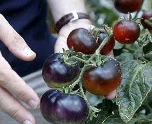 L'Ortofruttifero acquista licenza per la vendita del pomodoro nero