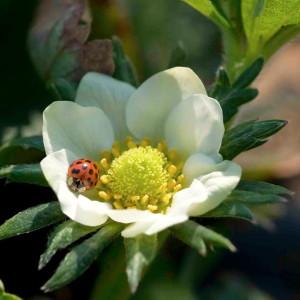 Biodiversity Coccinella