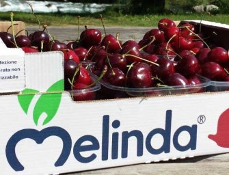 Melinda, al via la campagna ciliegie: saranno 600 tons per quasi due mesi