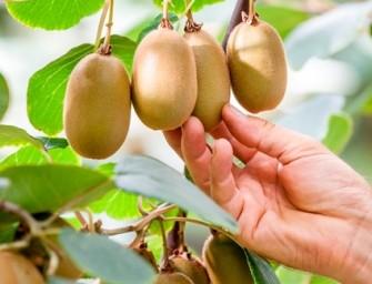 Kiwi verde: gelate e siccità portano la produzione italiana a -50%