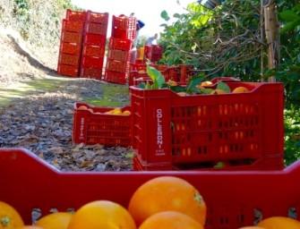 Arance rosse di Sicilia, annata difficile, mancano calibro, colore e domanda