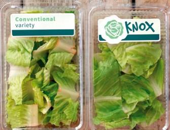 Knox, l'innovazione di Rijk Zwaan che rivoluziona il mondo delle lattughe