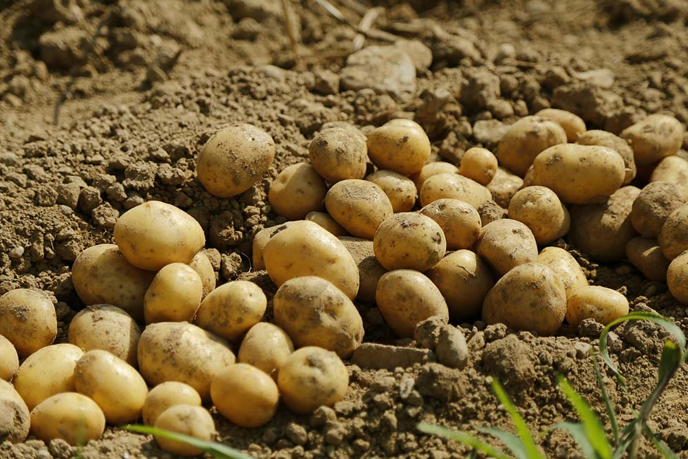patate campo