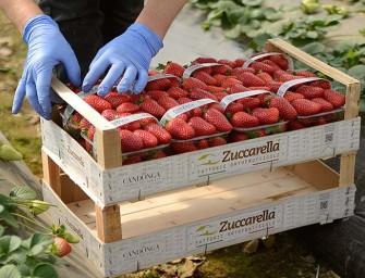 Candonga: dalla coop Zuccarella arriva la prima fragola top quality biologica