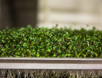 Germogli Vivo: i micro vegetali preziosi per la salute