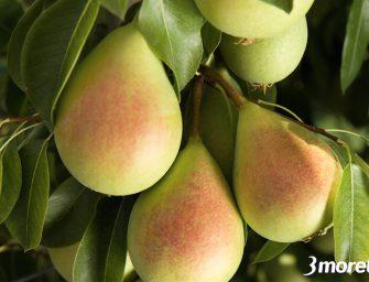 Gruppo Bonomo, qualità top per le pere Coscia raccolte alle pendici dell'Etna