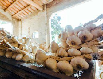 Duoccio: 4 mila q.li di aglio bianco polesano, il 60% Dop. Servizio Rai in azienda