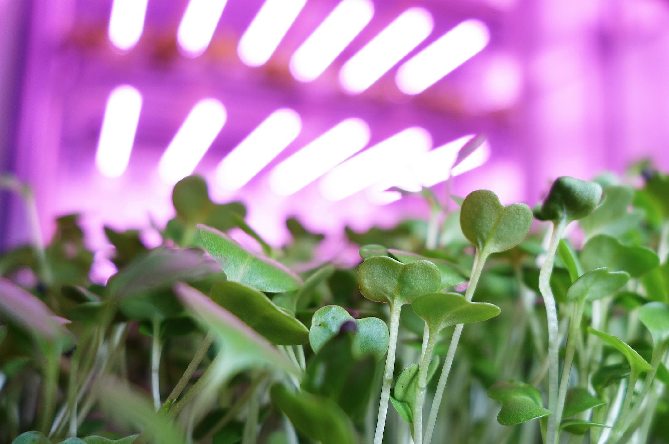 Travaglini-led-vertical-farming
