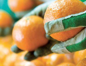 Clementine a 50 cent. in Unicoop Firenze. Grido d'allarme dei produttori