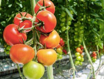Pomodori e ortaggi: un milione per la serra geotermica di Monterotondo