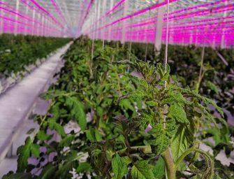 Fresh Guru, 100 milioni perpomodori top anche d'inverno con la tecnologia C-Led