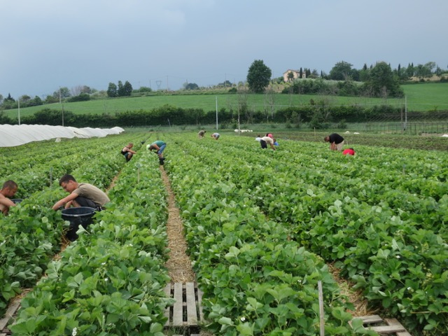 Salvi Vivai Fragole San Patrignano