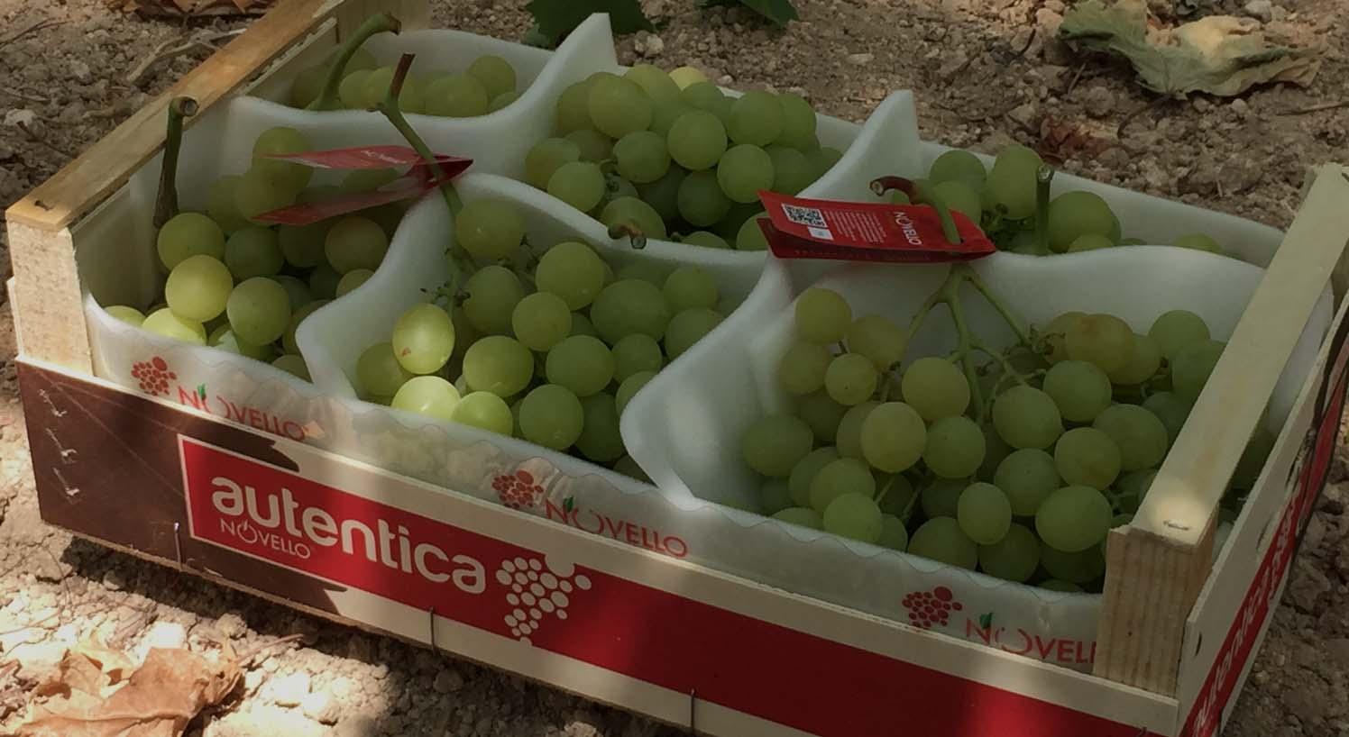 Novello Autentica uva Italia