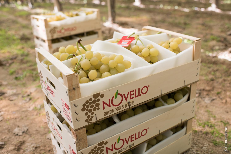 Novello uva