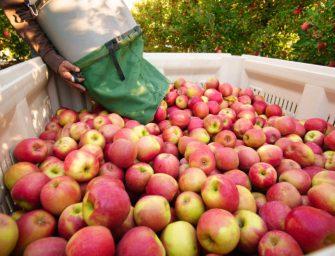 Prognosfruit, previsto raccolto record per le mele in Europa. Dal 2000 mai così tante