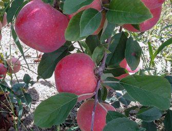 """Regal'You, la mela di Apofruit """"ottima da consumare e facile da produrre"""". Presentazione in campo"""