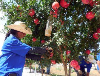 Masseria Fruttirossi, nuovo stabilimento per i superfrutti. Core business la melagrana
