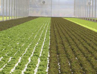 Sfera Agricola lancia in Gdo insalate ed erbe aromatiche, prodotte nella serra idroponica più grande d'Italia