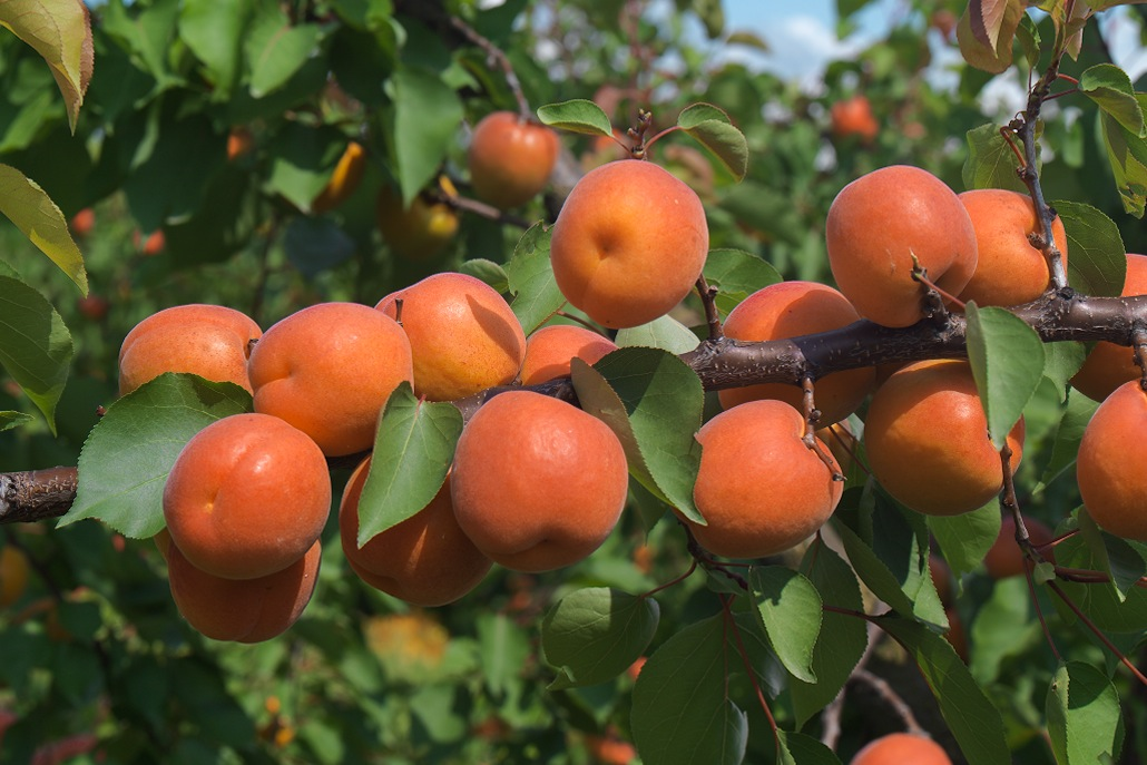 albicocche Apofruit Guidi