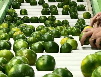 """Oranfrizer: torna sui banchi Miyagawa, """"l'insolito"""" mandarino verde non trattato"""