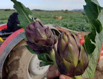 """Agricola Campidanese, al via la stagione dei carciofi. """"Calendario in ritardo ma ottima qualità"""""""