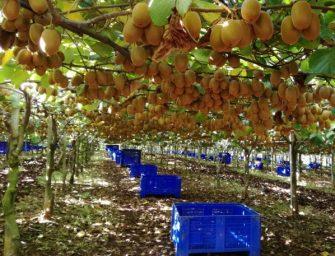 Kiwi Zespri SunGold: arriva la produzione made in Italy