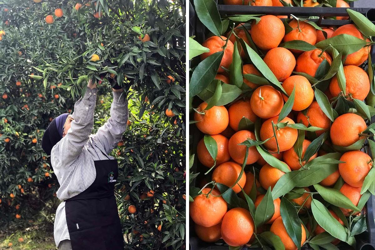 clementine-val-esaro-raccolta