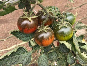 """Agricola Campidanese, Lotta: """"Annata particolare. Investiamo su fragole e camone"""""""