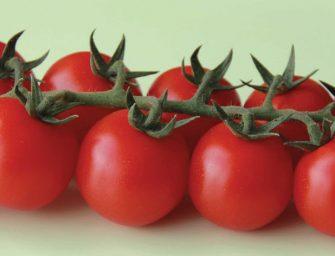 """Jungle F1, il pomodoro """"Cherry cocktail"""" di Nunhems resistente e molto produttivo"""