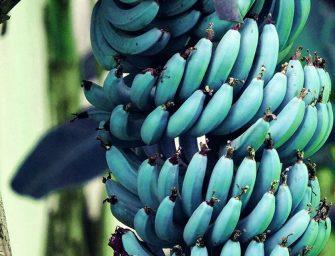Blue Java, la banana a buccia blu che sa di gelato alla vaniglia