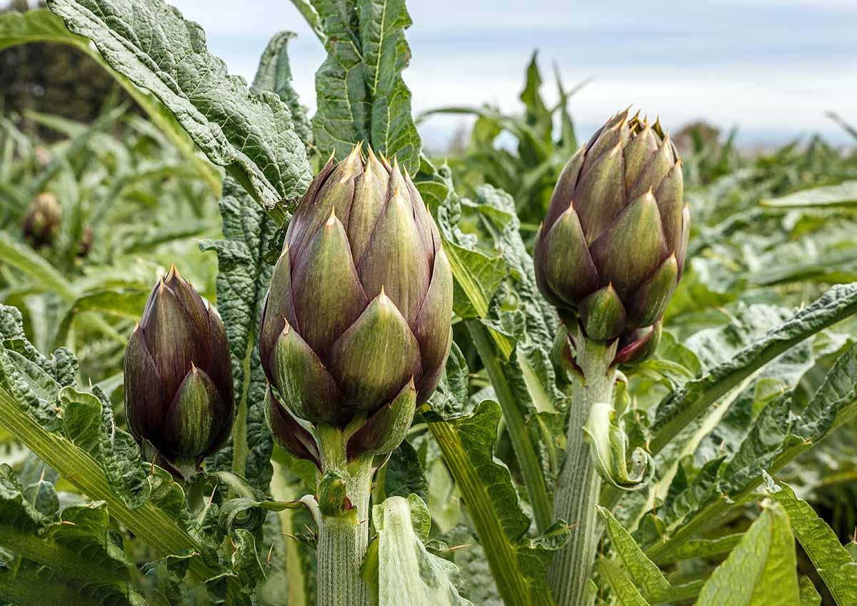Agricola Campidanese carciofo senza glifosato