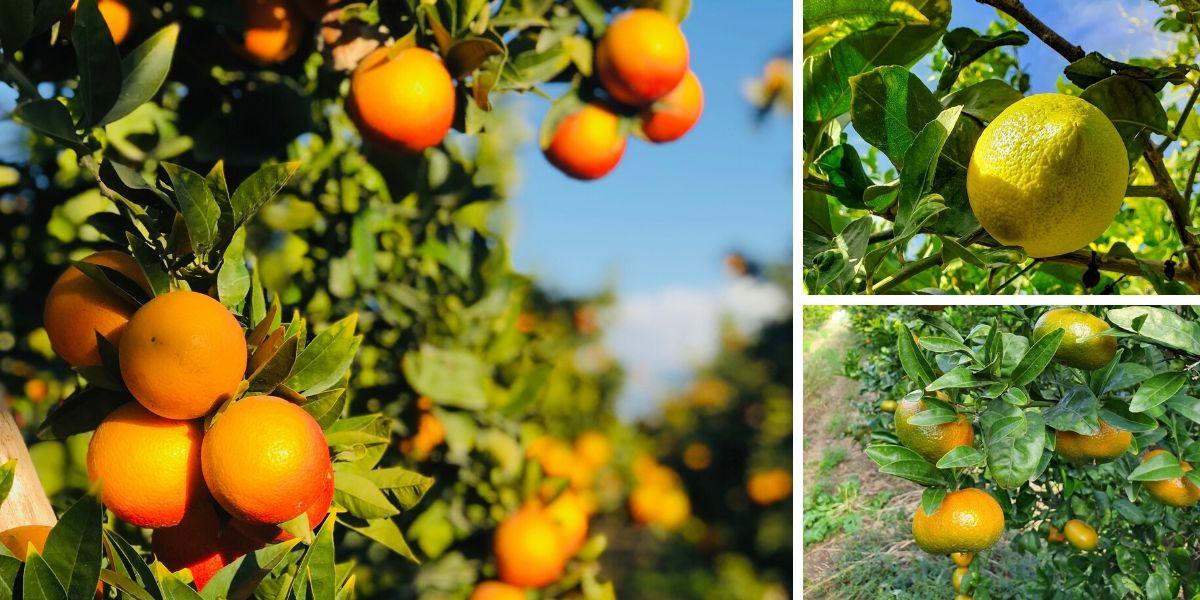 Oranfrizer agrumi